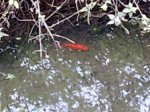 Rom goldfish