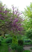 Olive tree in Chelsea Psysic garden